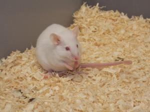 Myš laboratorní