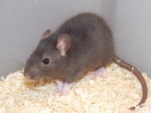 potkan laboratorní odstav