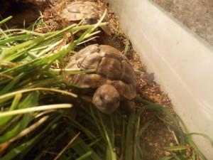 želva čtyřprstá