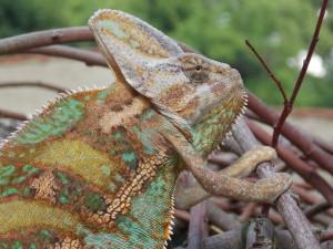 Chameleon jemenský,dospělý samec