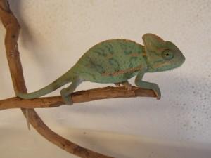 chameleon jemenský,mládě