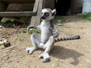 lemur kata,Alfréd