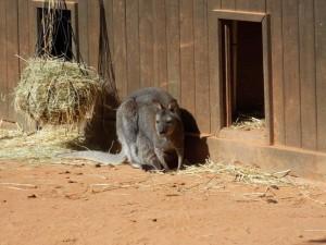 klokan rudokrký,samice s mládětem