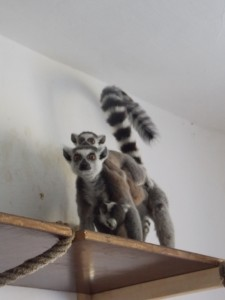 lemur kata,samice s mládaty