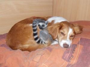 lemur kata,uměle odchované mládě (Alfréd)