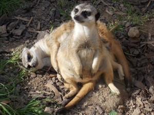 surikaty